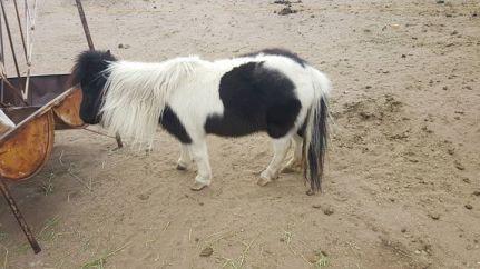 black-and-white-mini-horse
