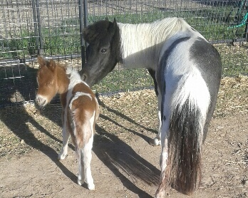 Little America and her foal, Jumpin Jaxx.