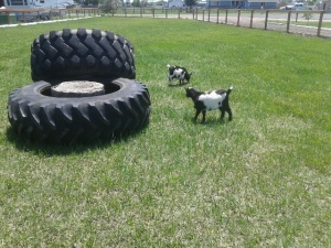 Goats in pasture with tires