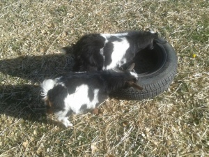 goats on tire