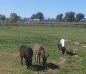 Donkeys and America west pasture