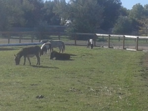 Donkeys and Horses east pasture