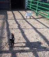 Hannah and Haley in barnyard 04-2018